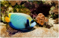 1454509946-763891-190x122-angelfish